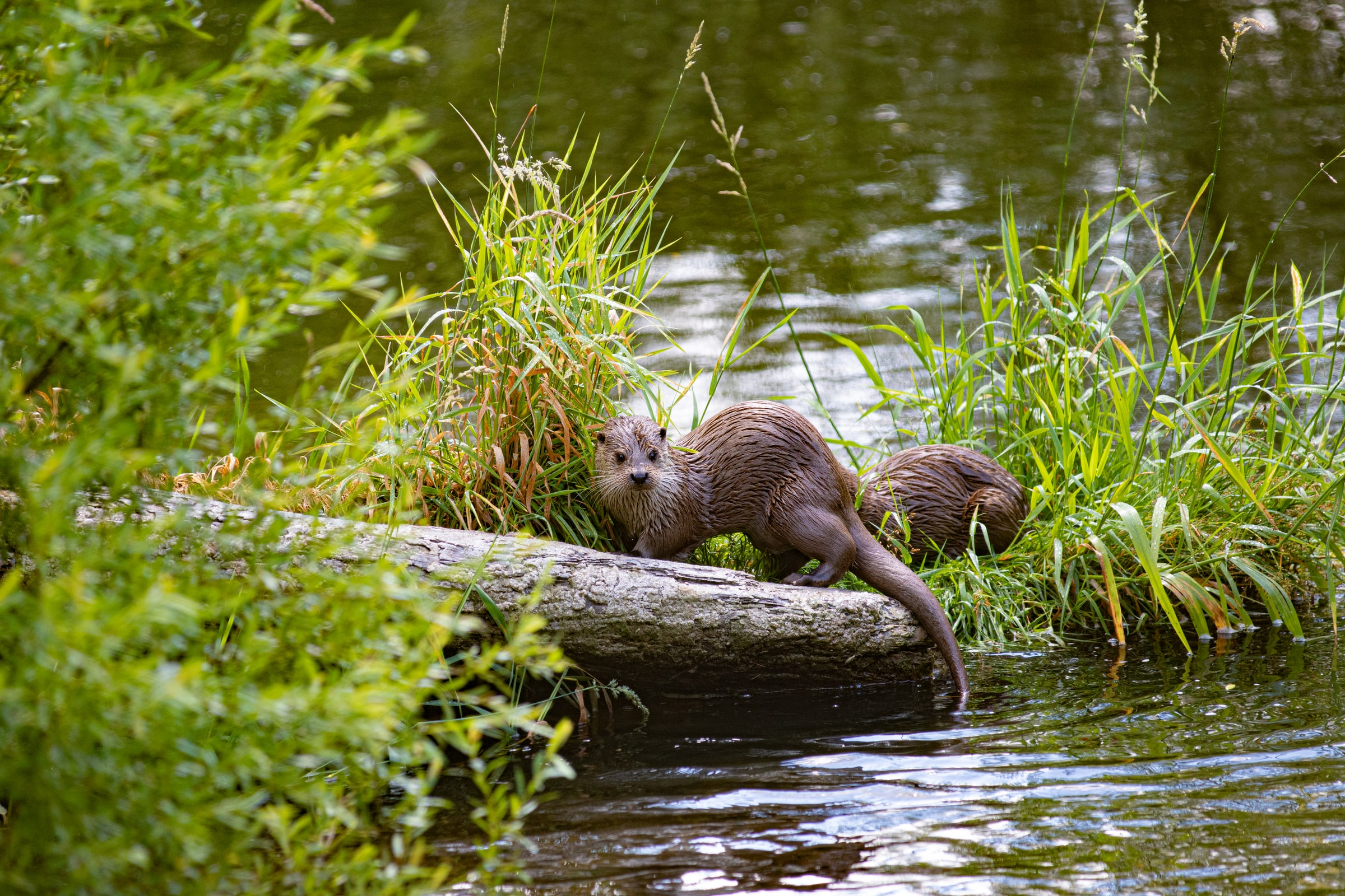 An otter in the river